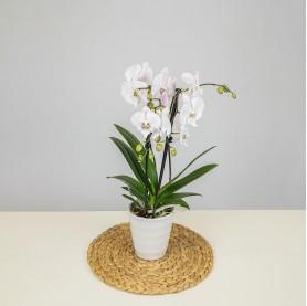 Orchidée violet 2 tiges